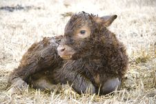 Free Young Calf Royalty Free Stock Photos - 8948188