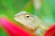 Free Chameleon Stock Photos - 8948823