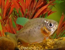 Free Piranha Stock Photos - 8949443