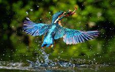 Free Kingfisher Catching Fish Stock Photos - 89442123
