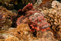 Free Smallscale Scorpionfish Stock Images - 8953044