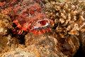 Free Smallscale Scorpionfish Royalty Free Stock Photography - 8953077
