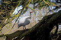 Free Helmeted Guineafowl (Numida Meleagris) In A Tree Stock Image - 8955861