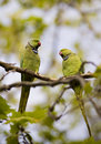 Free Parrots Royalty Free Stock Image - 8959676