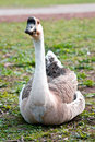 Free Nesting Goose Closeup Royalty Free Stock Image - 8959876