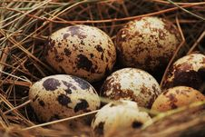 Free Quail Eggs Royalty Free Stock Photography - 8951157