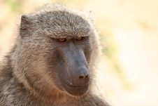 Free Baboon Stock Photography - 8951382