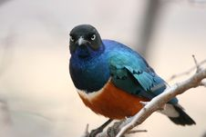 Free Superb Starling Royalty Free Stock Images - 8951489