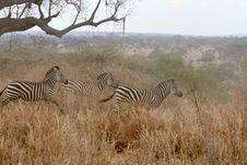 Free Zebras Stock Photo - 8951660