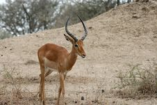 Free Impala Royalty Free Stock Photography - 8951737
