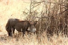 Free Warthogs Stock Image - 8951811