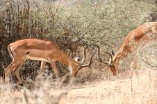 Free Impalas Fighting Royalty Free Stock Photos - 8951878