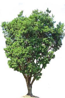 Free Isolated Tree Royalty Free Stock Photos - 8952058
