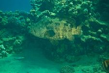 Free Potato Grouper Stock Photography - 8952282