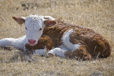 Free Young Calf Stock Photos - 8952313