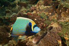 Free Emperor Angelfish Royalty Free Stock Photography - 8952537