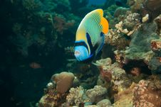 Free Emperor Angelfish Stock Photography - 8952572