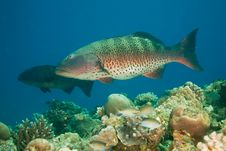 Free Coralgrouper Royalty Free Stock Photography - 8952787