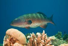 Free Coralgrouper Royalty Free Stock Photo - 8952805