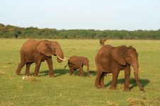 Free Elephant Family Royalty Free Stock Photo - 8952825