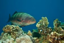 Free Coralgrouper Royalty Free Stock Images - 8952839