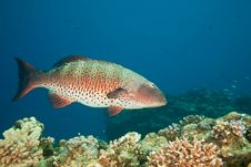 Free Coralgrouper Royalty Free Stock Images - 8952869