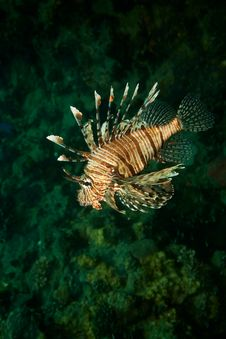 Free Lionfish Stock Images - 8952904