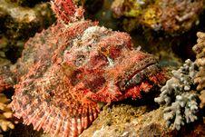 Free Smallscale Scorpionfish Royalty Free Stock Image - 8952976