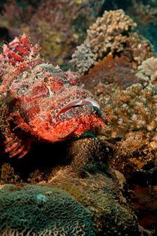 Free Smallscale Scorpionfish Royalty Free Stock Image - 8953136