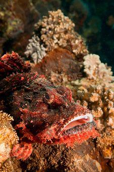 Free Smallscale Scorpionfish Royalty Free Stock Image - 8953156
