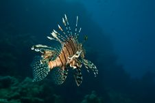 Free Lionfish Royalty Free Stock Photo - 8953325