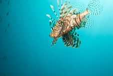 Free Lionfish Stock Image - 8953351
