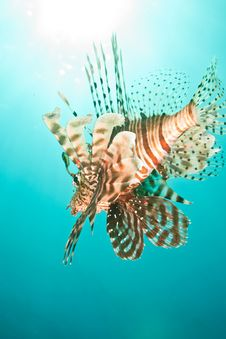 Free Lionfish Royalty Free Stock Photography - 8953377