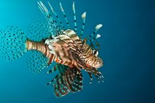 Free Lionfish Stock Images - 8953394
