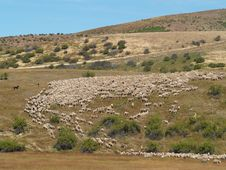 Free Herding Sheep Stock Photos - 8954343