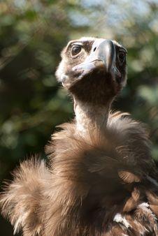 Free Vulture Stock Photos - 8954643