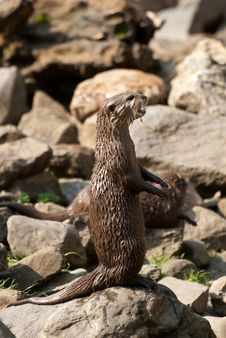 Free Otter Stock Photography - 8954672