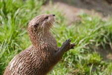 Free Otter Portrait Royalty Free Stock Images - 8954679