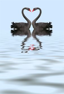 Free Two Romantic Black Swans Stock Image - 8957121