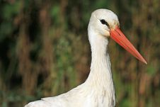 Free Close Portrait Of White Stork In Natural Habitat Royalty Free Stock Photography - 8957597