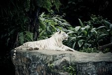 Free White Tiger Stock Images - 8959114