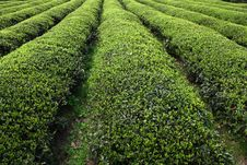 Free Tea Bush Royalty Free Stock Images - 8959299