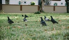 Free Pigeons In Grass Royalty Free Stock Image - 89508346