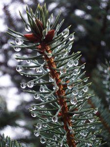 Free Rain Drops On Pine Branch Royalty Free Stock Photos - 89572988