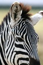 Free Zebra Portrait Royalty Free Stock Image - 8964456