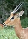 Free Male Impala Portrait Stock Photo - 8964540