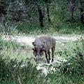 Free Warthog Royalty Free Stock Photos - 8964738