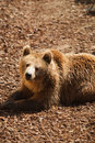 Free Brown Bear - Ursus Arctors Royalty Free Stock Photos - 8965358