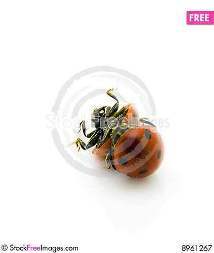 Free Ladybirds Rolling Royalty Free Stock Photography - 8961267