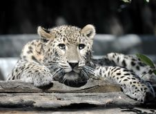 Young Leopard Stock Image
